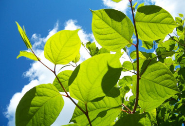 Encroaching Japanese Knotweed a private nuisance